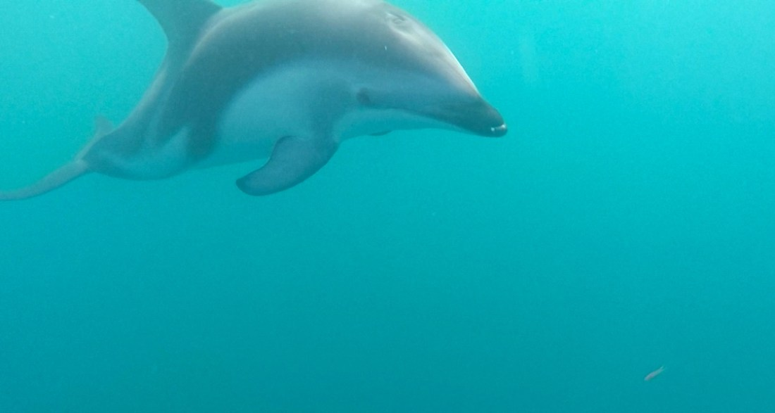 Swimming with Dolphins in Kaikoura, New Zealand