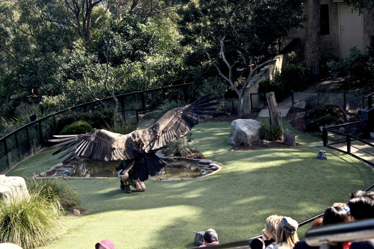 Free-Fly Bird Show at Sydney Taronga Zoo
