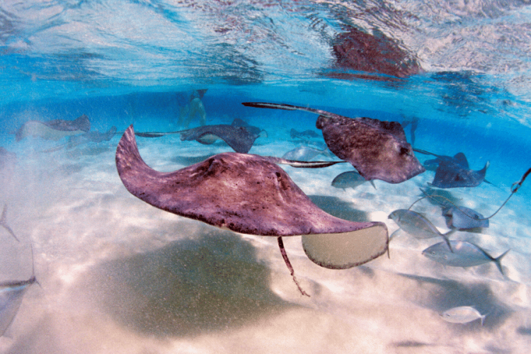 stingray attack at stingray city in cayman islands