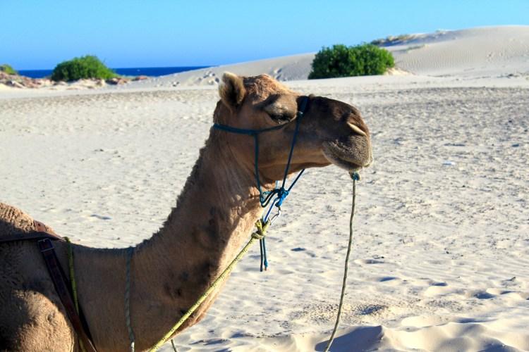 Camel Ride at Sunset: Port Stephens, Australia Must Do