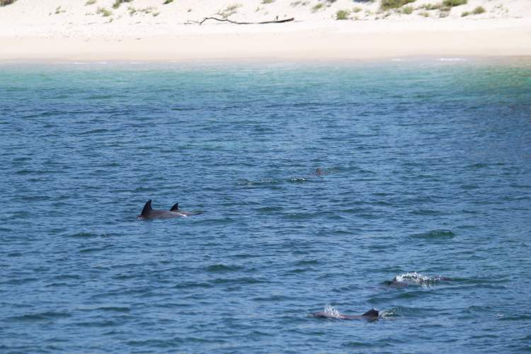 Port Stephens Dolphins in the bay