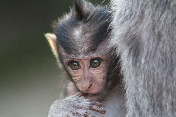 baby Monkey in Bali Forest