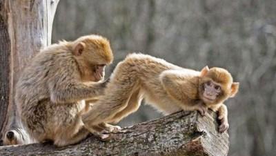 two monkeys grooming