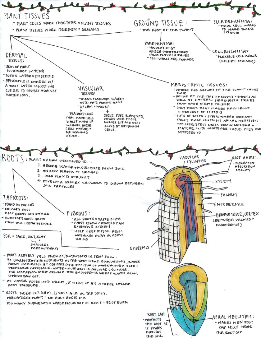 An image of a plant cross-section complete with notes and visual aids