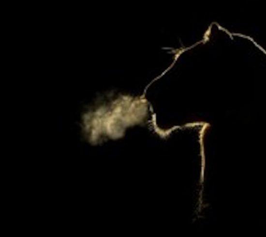 lionbreath