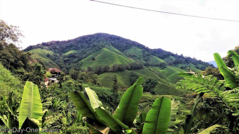 malaisie-plantation-the