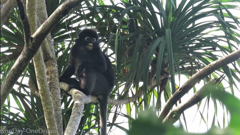 monkey-malaysia