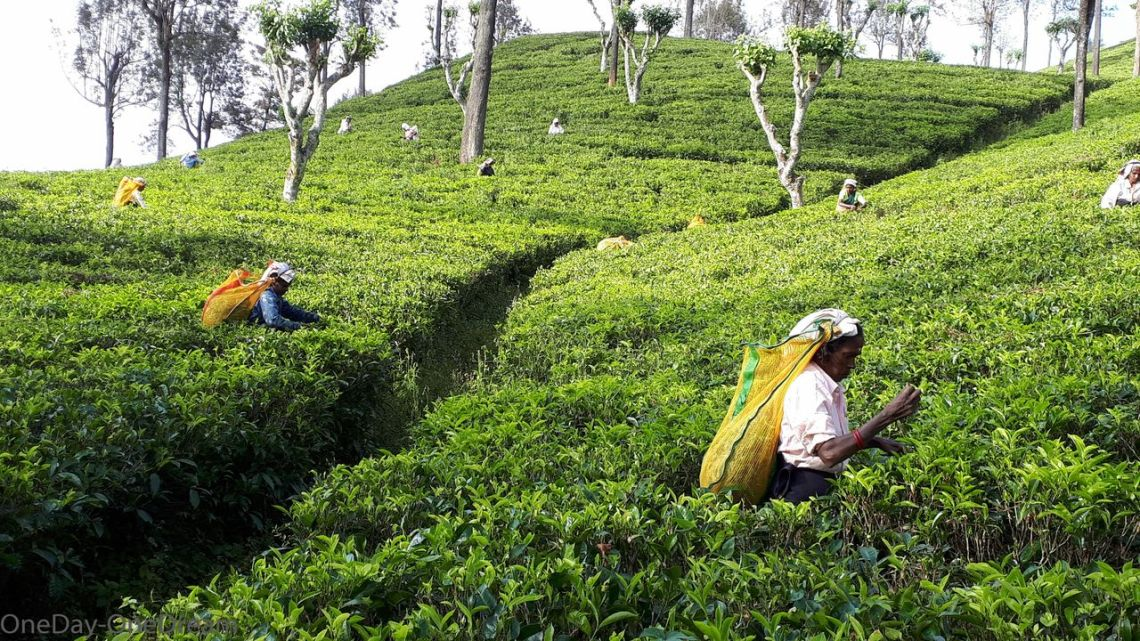 tea workers in sri Sri Lanka