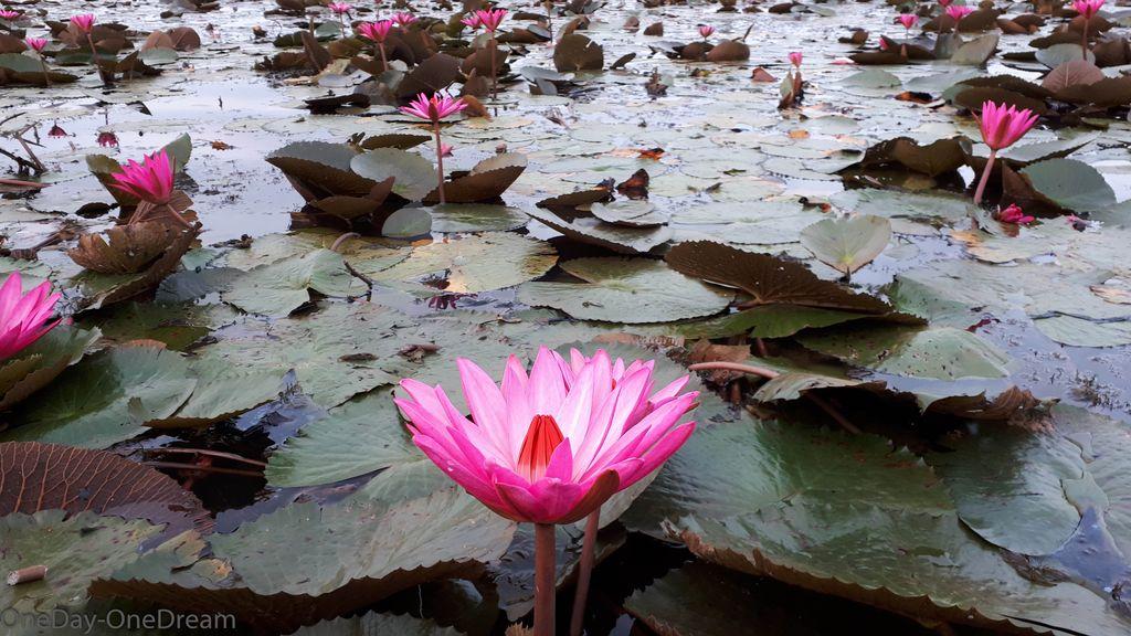 lac-lotus-thailande