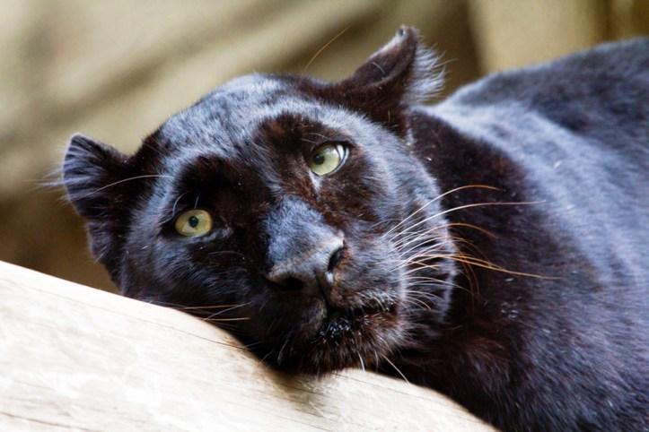 Black Panter at the Houston Zoo