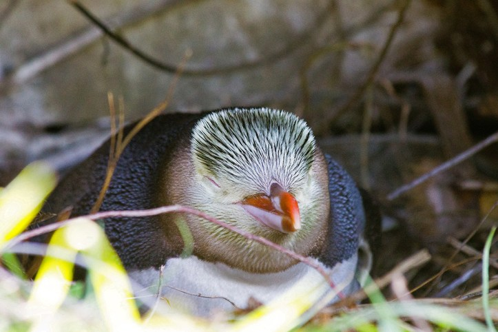 Guløjet penguin, Dunedin