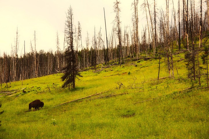 Bison at the Yellowstone National Park