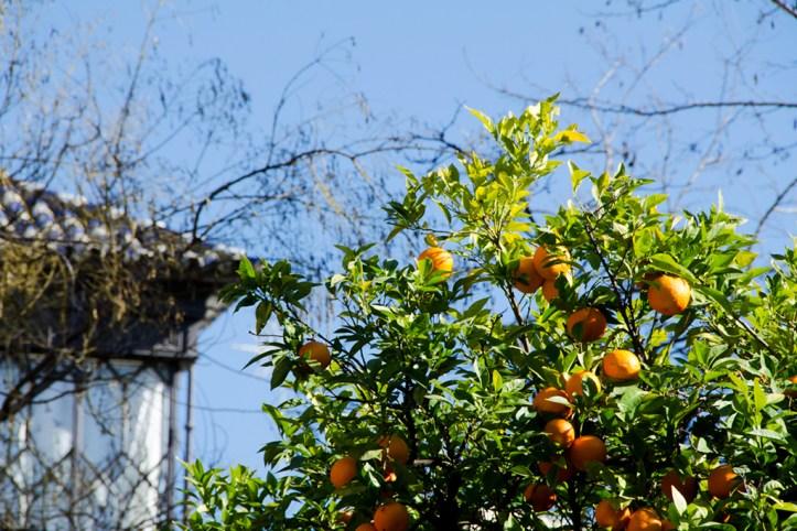 Seville Orange Trees