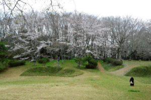 佐倉城址公園のサクラ