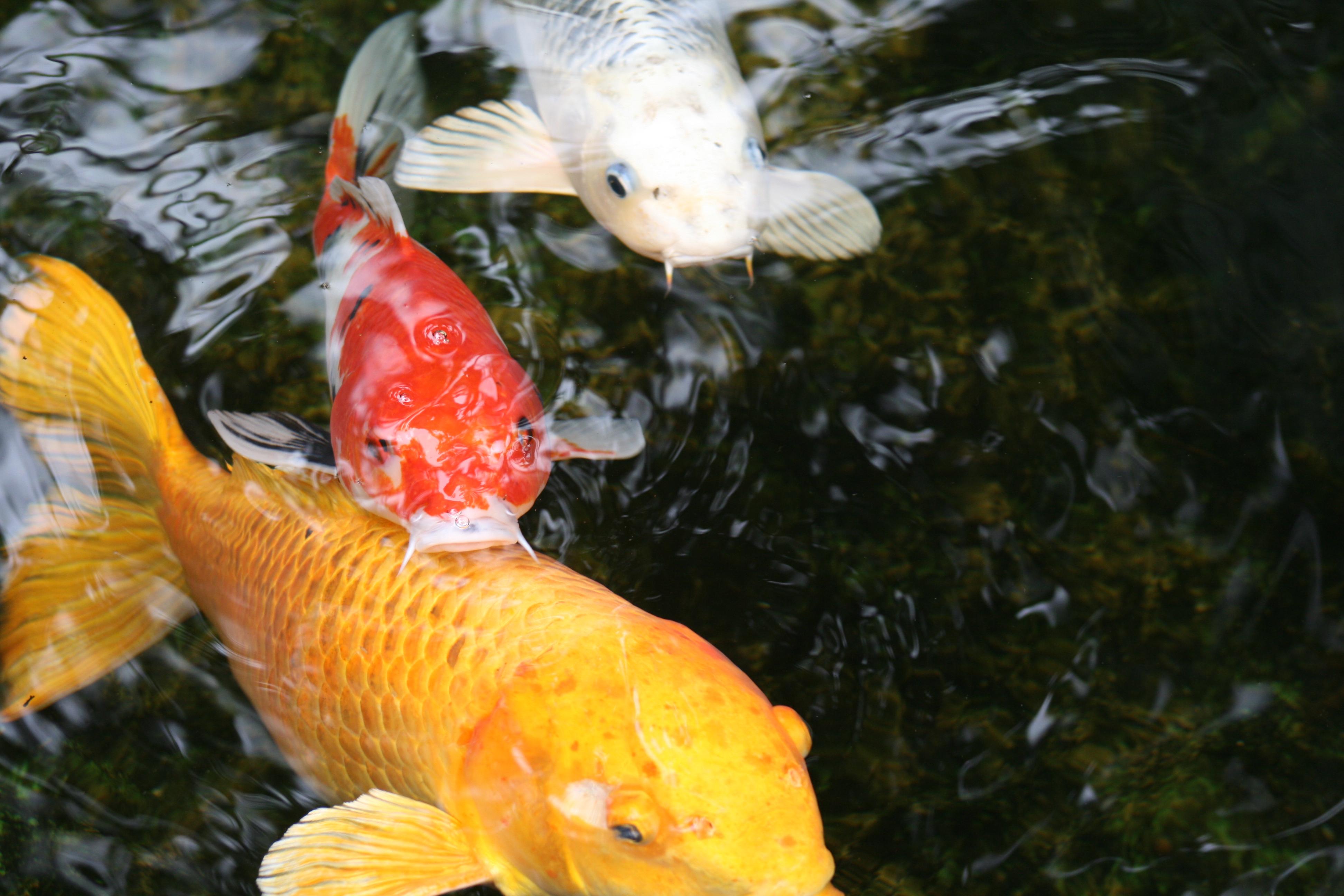 Koi fish at the Self-Realization Fellowship in Encinitas.