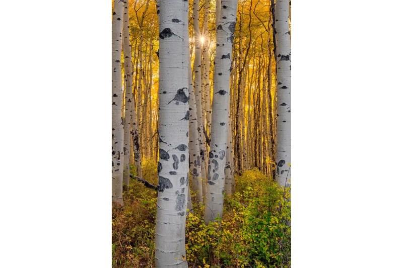Aspens Starburst Colorado Fine Prints Wall Art