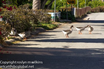 Don't get in the way of the geese!