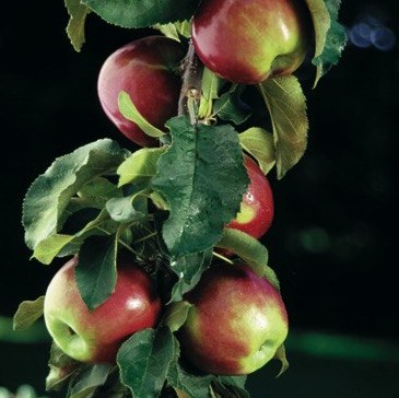 Scarlet Sentinel Columnar Apple Tree One Green World