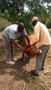 Collaring cattle