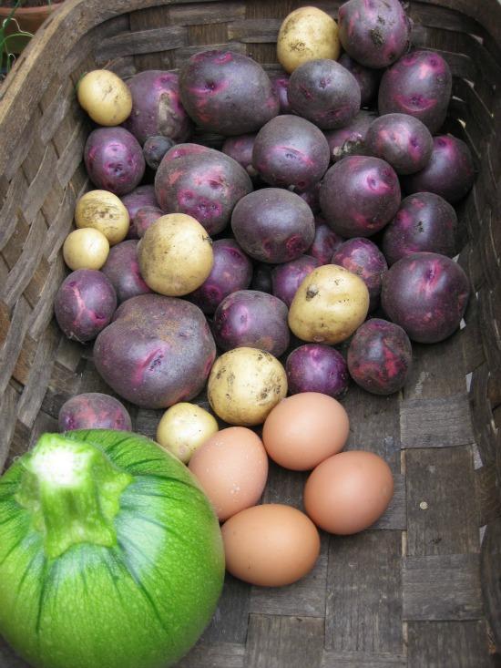 how to grow purple potatoes