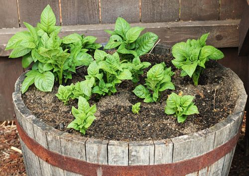 how to grow potatoes in a barrel with straw