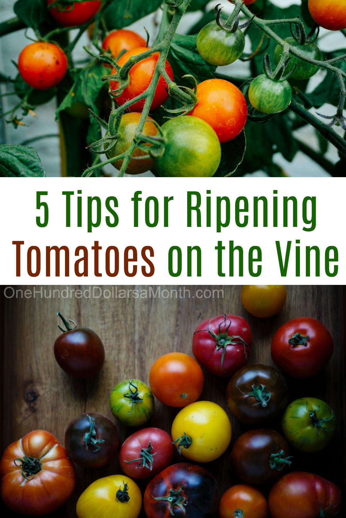 Mavis Garden Blog 5 Tips for Ripening Tomatoes on the Vine e
