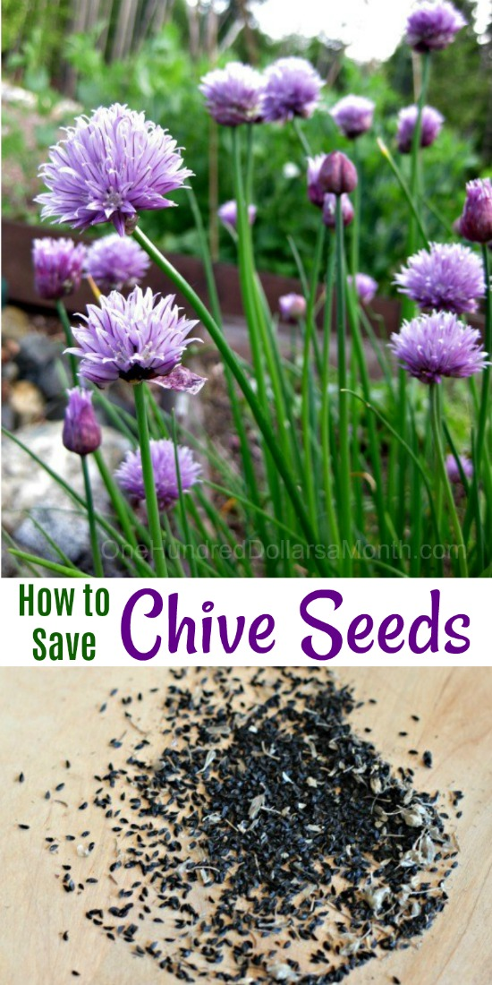 The Basic Principles Of Chives Growing