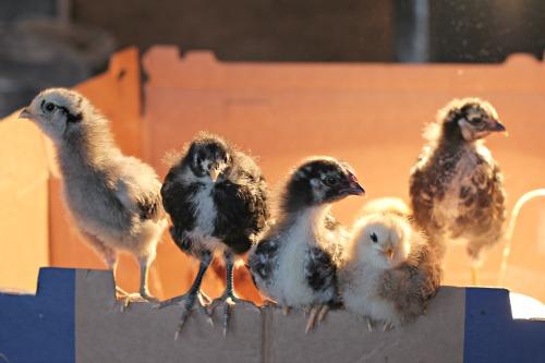 baby chicks 2 weeks