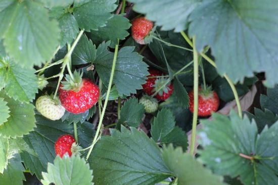tri-star strawberry plants