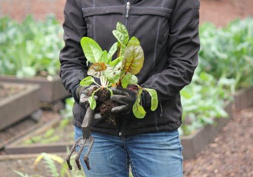 rainbow swiss chard transplants seedlings