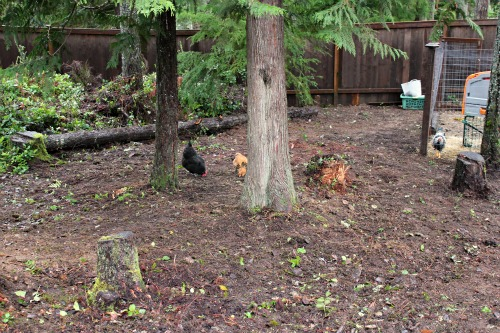 backyard chickens pictures