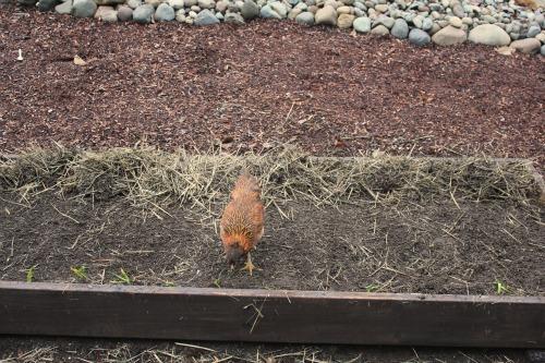 chicken in raised garden bed