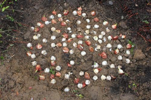 tulip bulbs in dirt