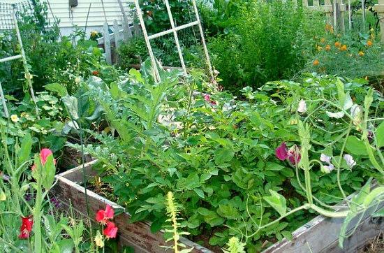 Potatoes, artichoke, cabbage, mint, rhubaarb, peas, beans, etc...