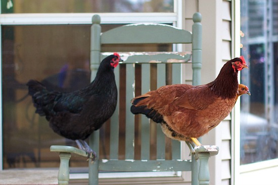 Hens in Chair