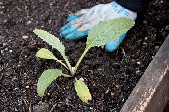 artichoke 10 weeks