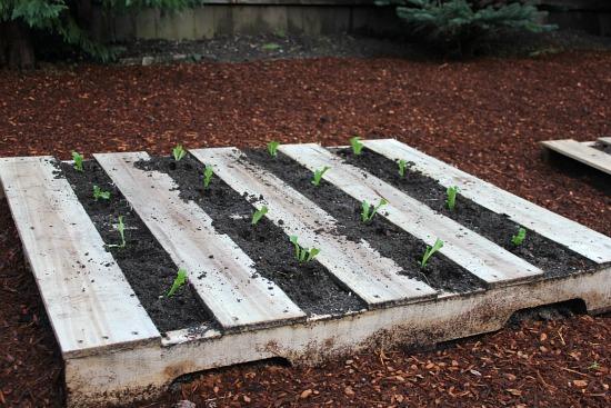 grow lettuce in a wood pallet