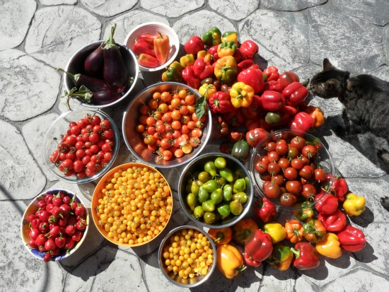 huge tomato harvest