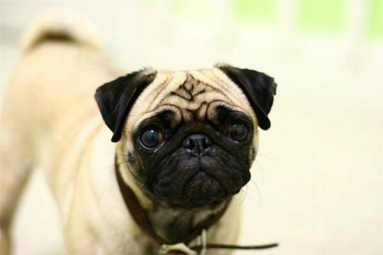 pug dog white fur