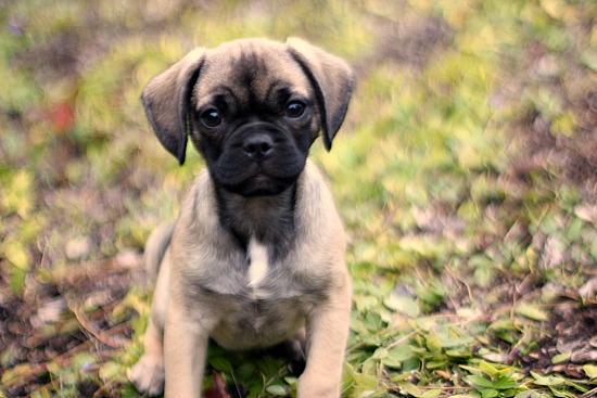 puggle puppy tan