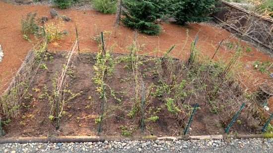 raspberry canes patch in spring
