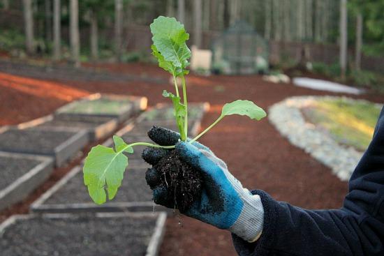 what do broccoli transplants look like