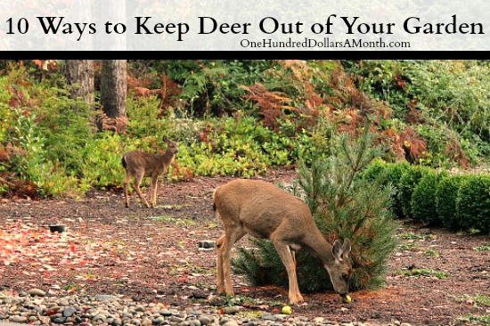 How To Keep Deer Out Of Your Garden   Stop Feeding Them!   One Hundred  Dollars A Month