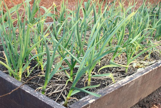 DIY Raised Garden Bed Garlic