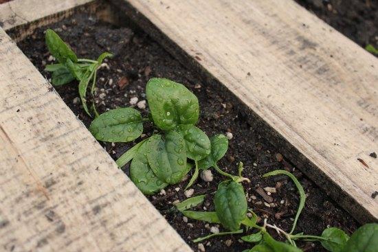 DIY Wood Pallet Garden spinach