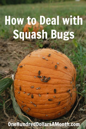 How to Deal with Squash Bugs