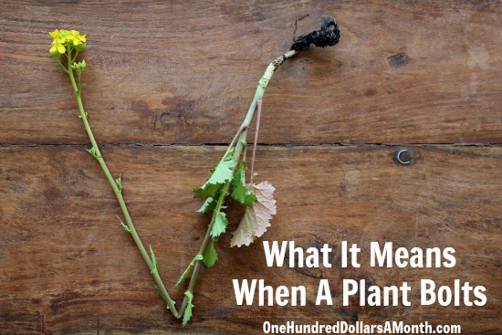 What It Means When A Plant Bolts