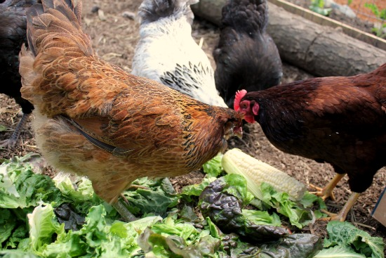 chicken scaps