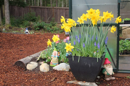 daffodils and gnomes