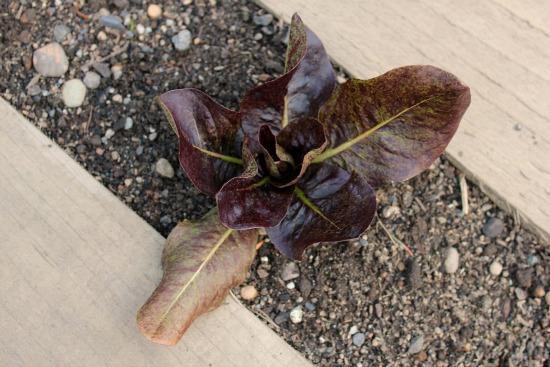 grow lettuce in a wood pallet garden